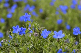 little-blue-flowers